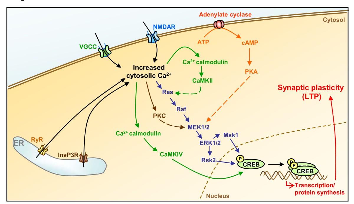 Calcium Signaling In Neurodegeneration Molecular 12 V Wiring Diagram 350 Cc 500 Us Canada Version Figure 1
