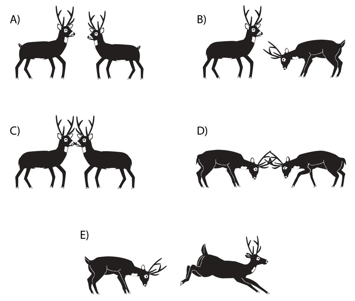 Reproductive biology of the pampas deer (Ozotoceros bezoarticus): a ...
