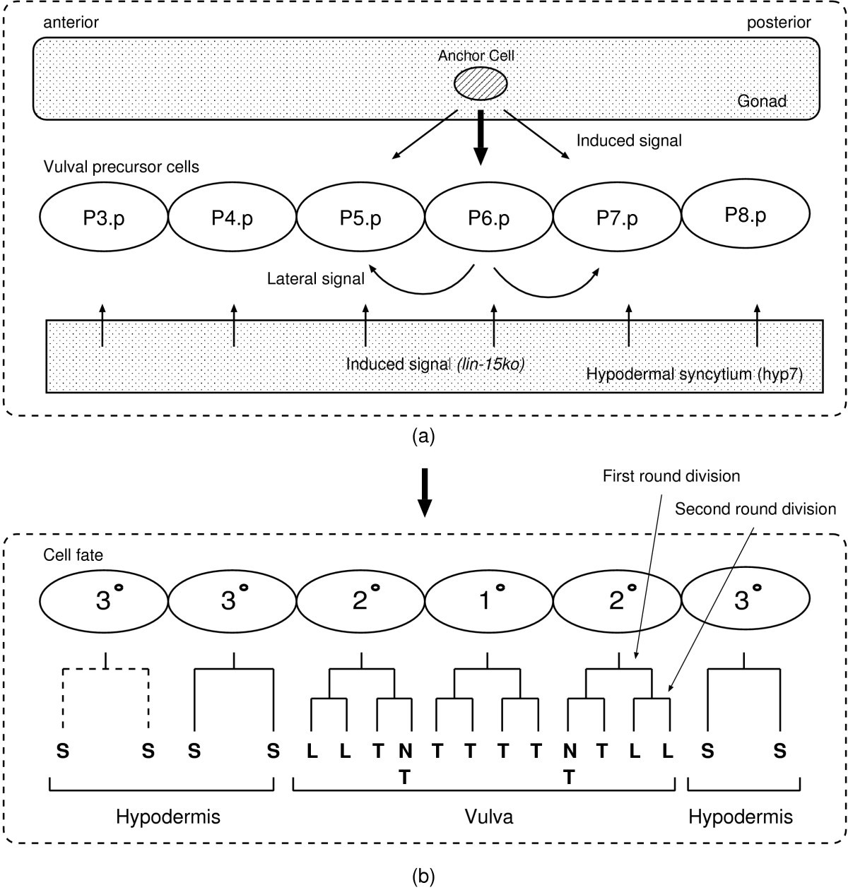 Simulation Based Model Checking Approach To Cell Fate Specification Dsl Work Diagram Likewise Telephone Phone Line Wiring Moreover Figure 3 Schematic Representations