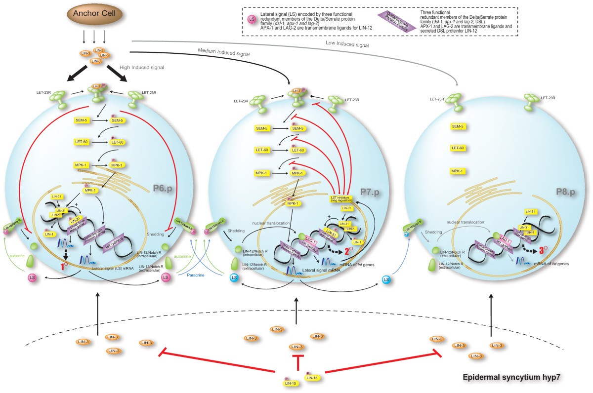 Simulation Based Model Checking Approach To Cell Fate Specification Dsl Work Diagram Likewise Telephone Phone Line Wiring Moreover Figure 4 Biological For The Multiple Signaling