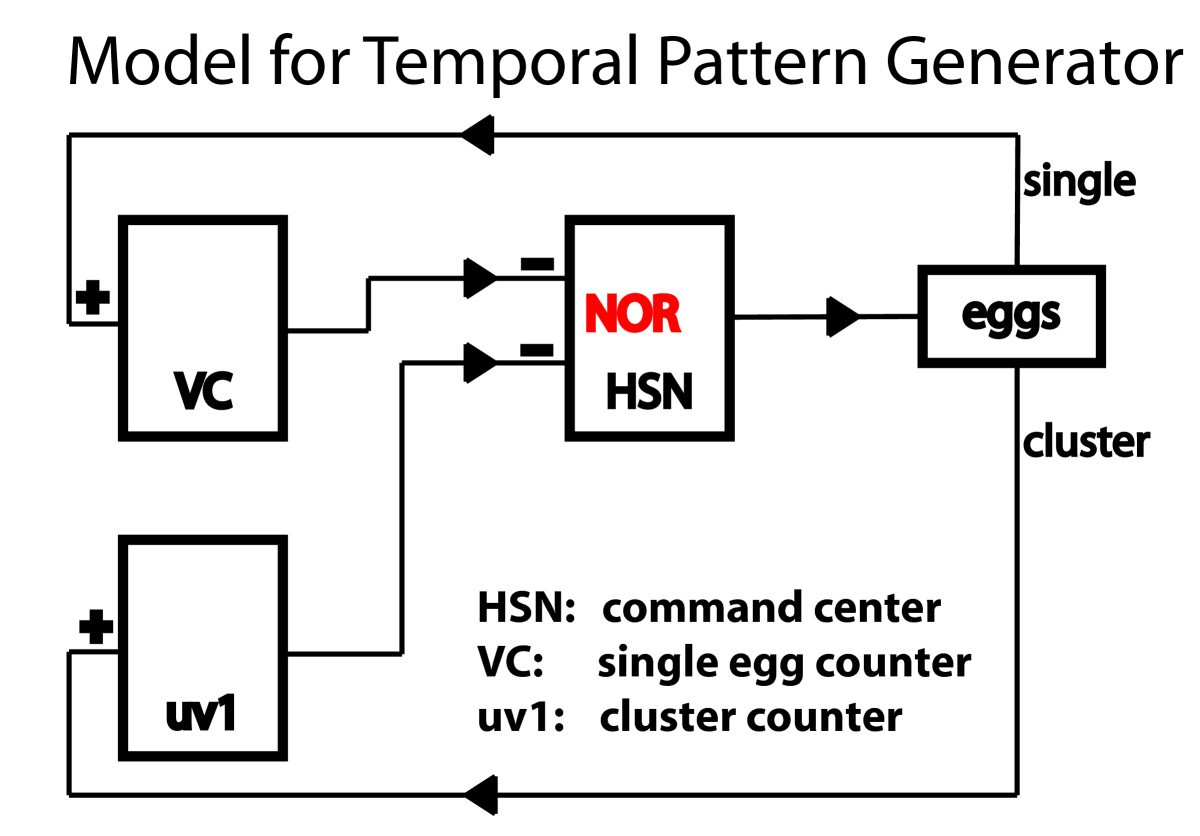 a circuit model of the temporal pattern generator of caenorhabditis egg
