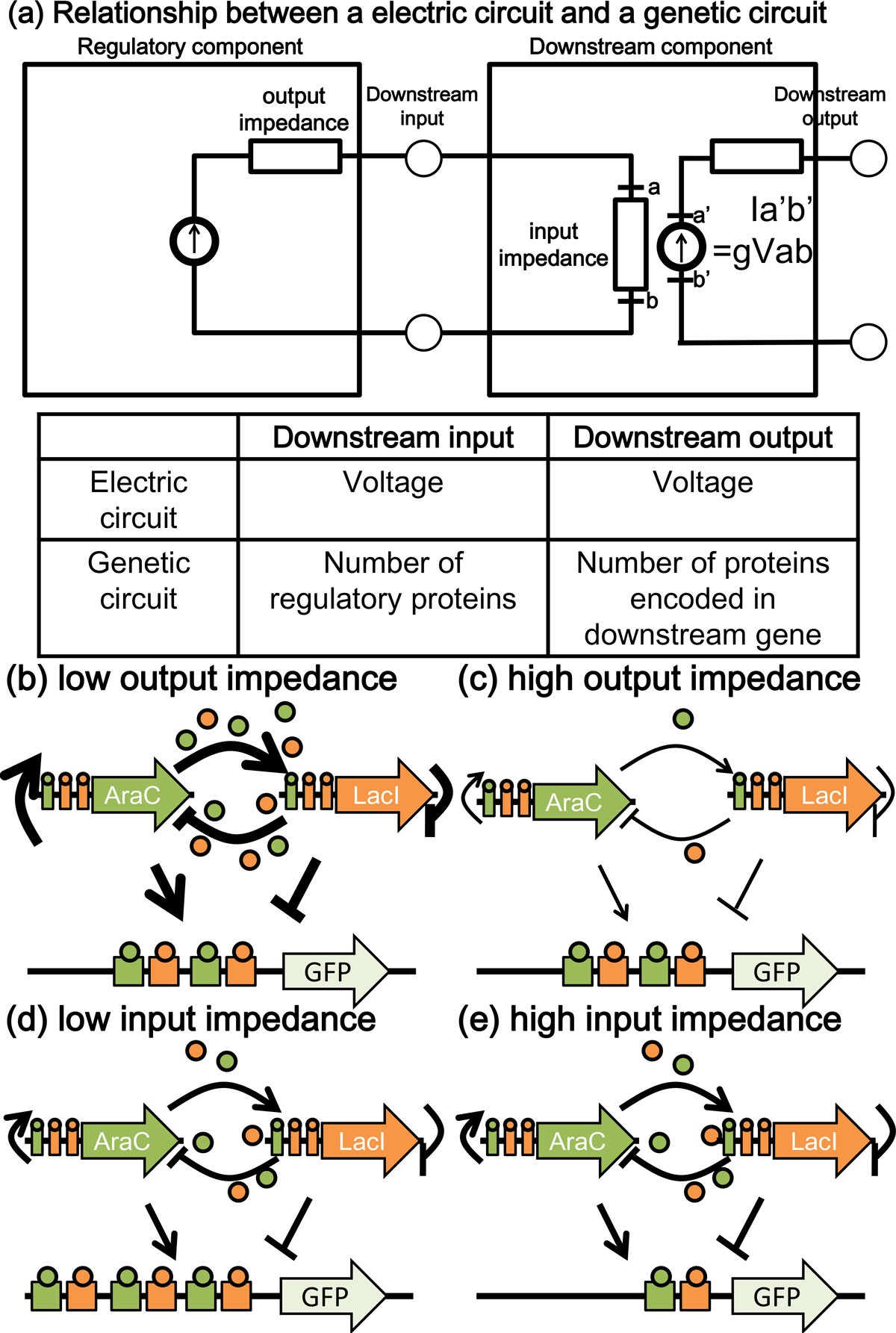 Effects of downstream genes on synthetic genetic circuits | BMC ...