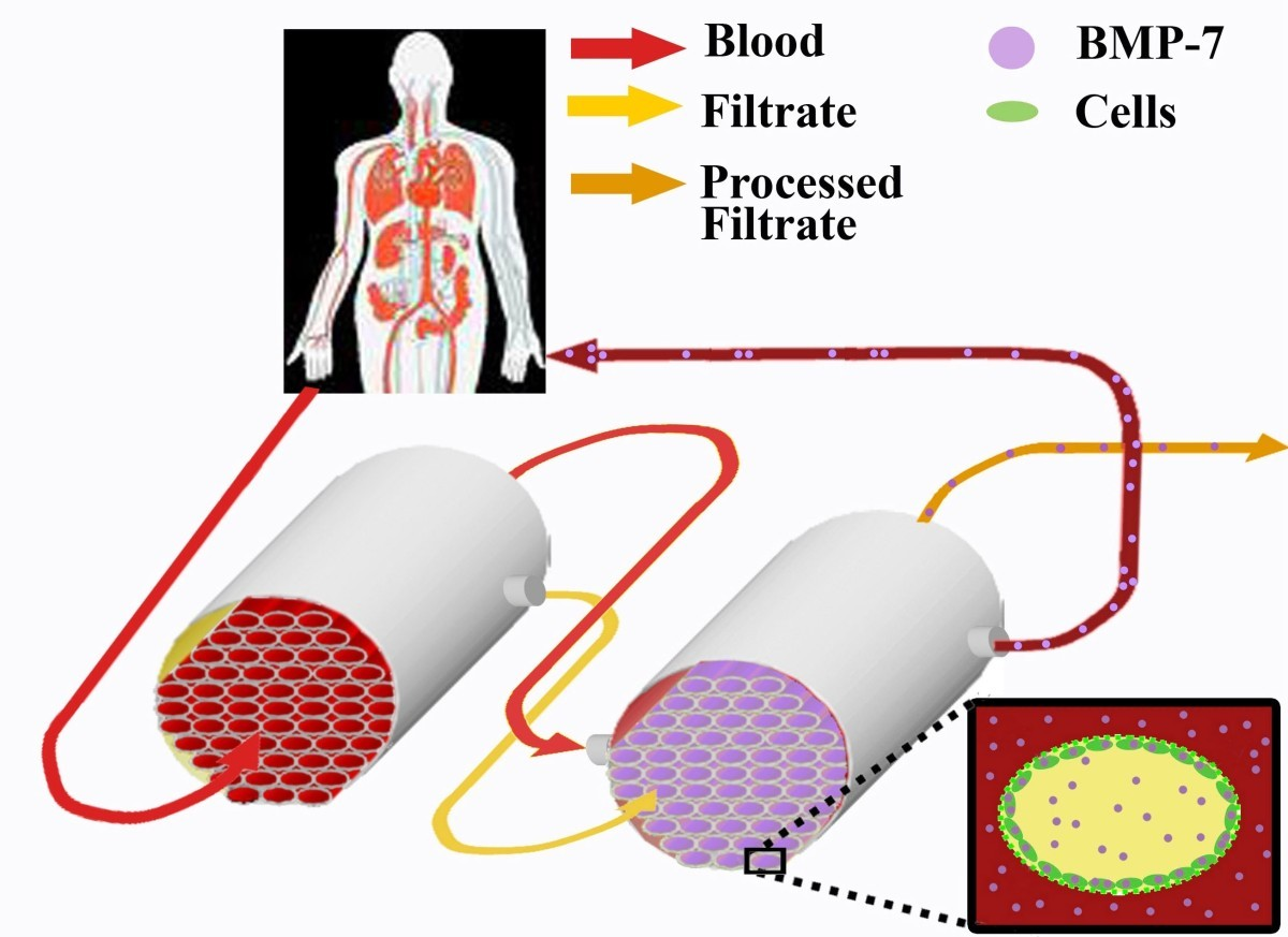 tissue repair process Previous document: developmental and tissue-specific expression of prosaposin mrna in murine tissues next document: persistence, re-expression, and induction of pulmonary arterial fibronectin.