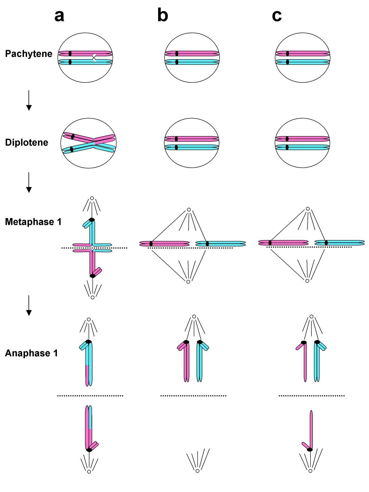 |Meiosis and nondisjunction worksheet| / |filetypeswf ... |Nondisjunction Trisomy 21