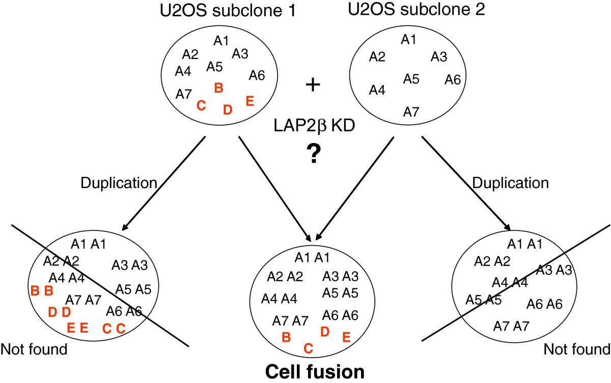 Induction Of Polyploidy By Nuclear Fusion Mechanism Upon Decreased 360 Degree Diagram Related Keywords Suggestions Figure 7 Schematic Representation