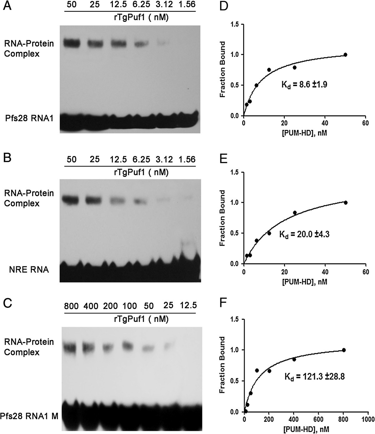 Characterization Of Tgpuf1 A Member The Puf Family Rna Binding Frame Ucc Competitor 20 Figure 5