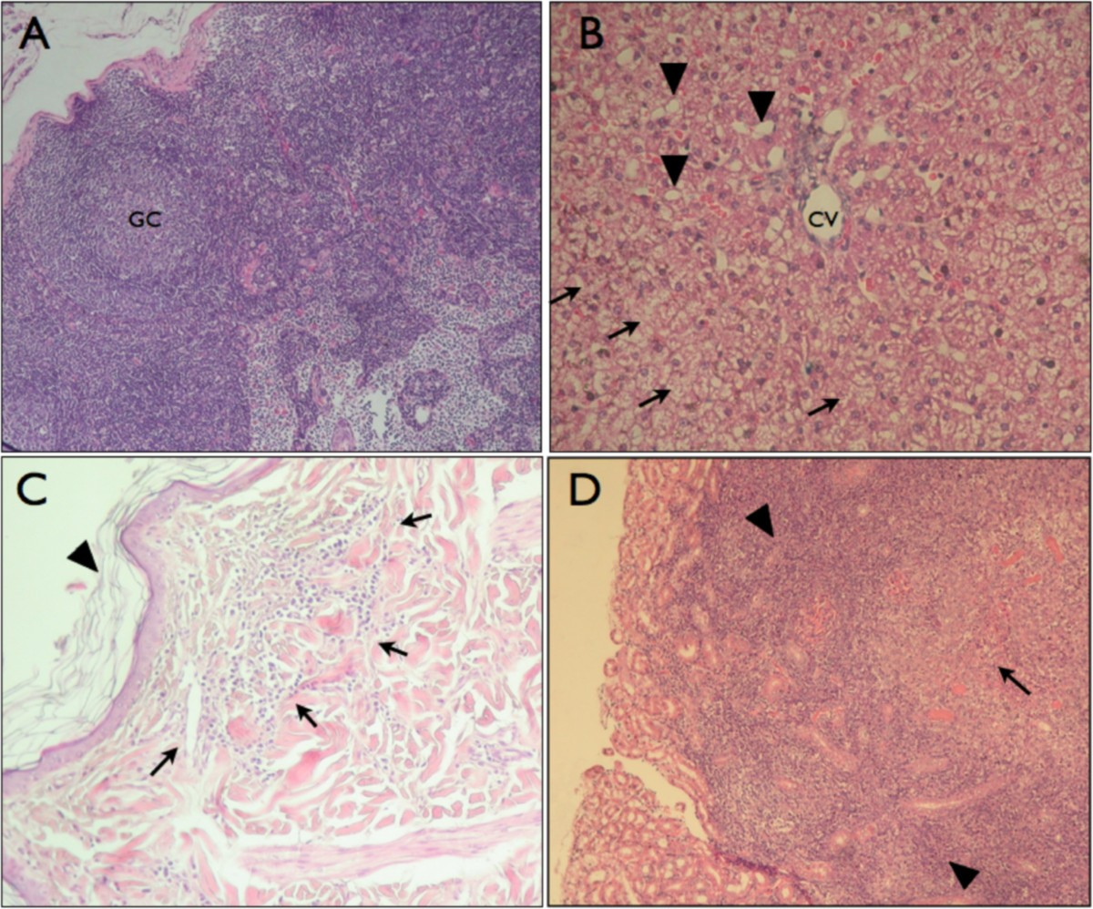 a canine model of experimental infection with leishmania  l   mexicana