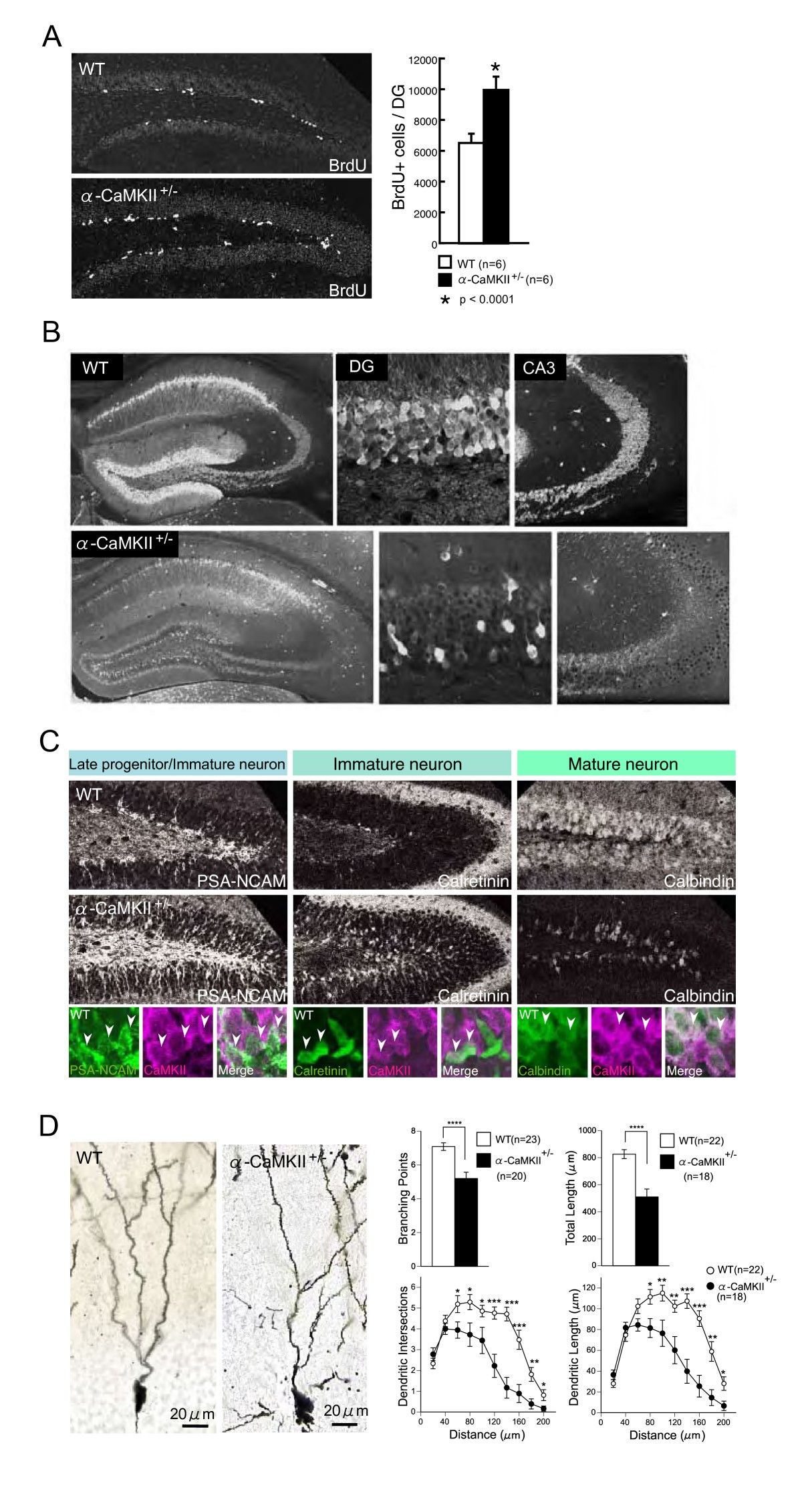 Alpha Camkii Deficiency Causes Immature Dentate Gyrus A Novel 1994 S10 Marker Light Wiring Diagram Figure 3