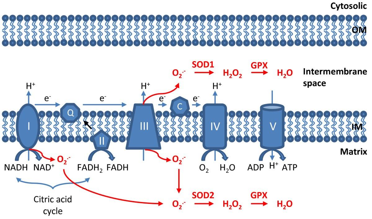 Mitochondria: Reactive Oxygen Species