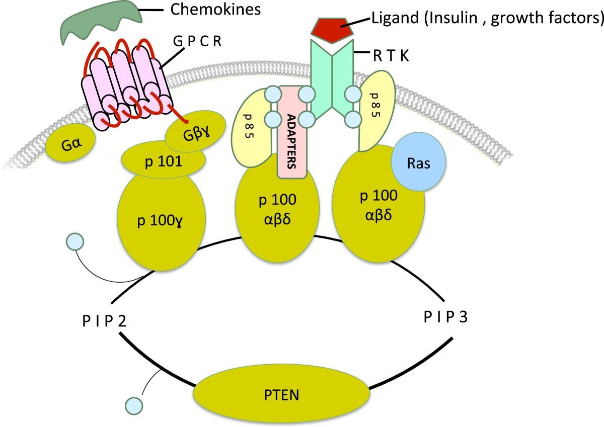phosphatidylinositol 3