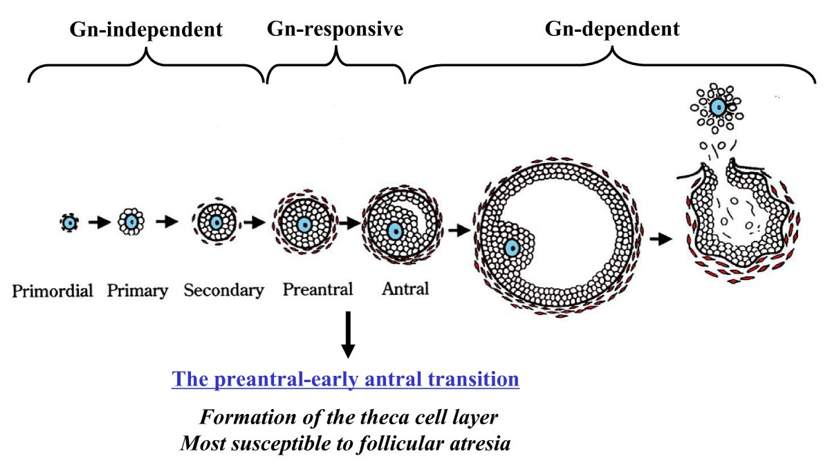 Oocyte Granulosa Theca Cell Interactions During Preantral Follicular
