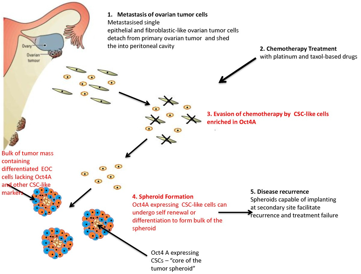 Attributes Of Oct4 In Stem Cell Biology Perspectives On Cancer Stem Cells Of The Ovary Journal Of Ovarian Research Full Text