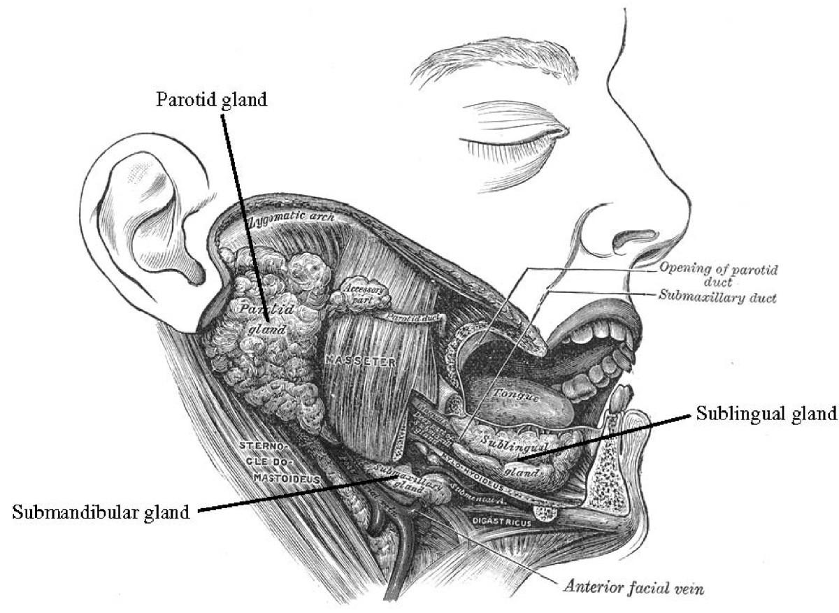 Ungewöhnlich Ucsd Erweiterung Anatomie Zeitgenössisch - Physiologie ...