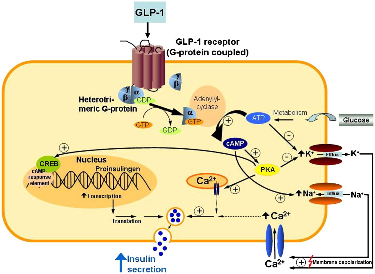 Direct cardiovascular effects of glucagon like peptide-1