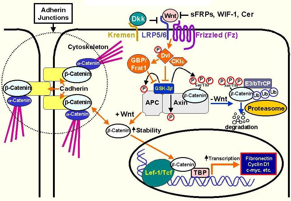 role of gluthathione pathway in discovering anticancer We present evidence supporting a role of the glutathione system in acquired and inherited drug resistance and/or adverse effects through the impact of either drug detoxification or drug inactivation, thus adversely effecting lung cancer treatment outcome.