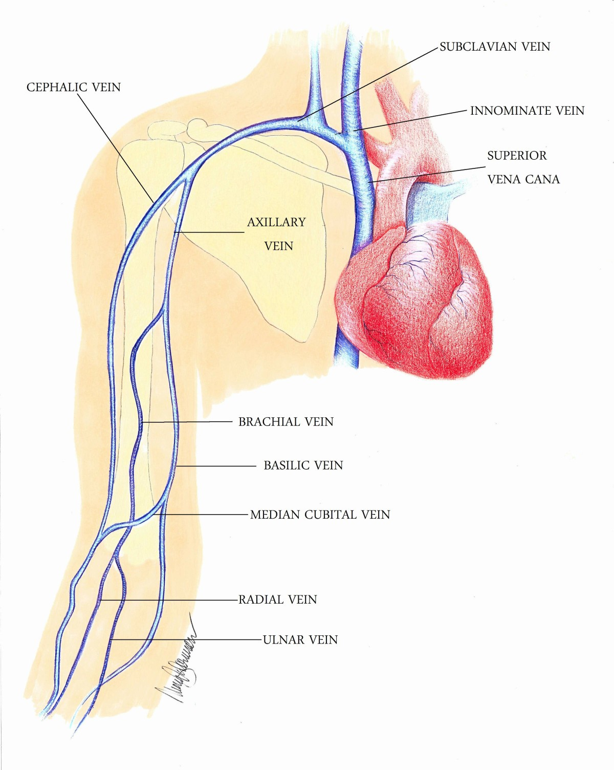 Contemporary Subclavian Vein Anatomy Images Ornament - Physiology Of ...