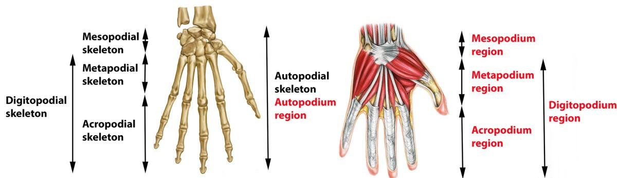 Unification of multi-species vertebrate anatomy ontologies for ...