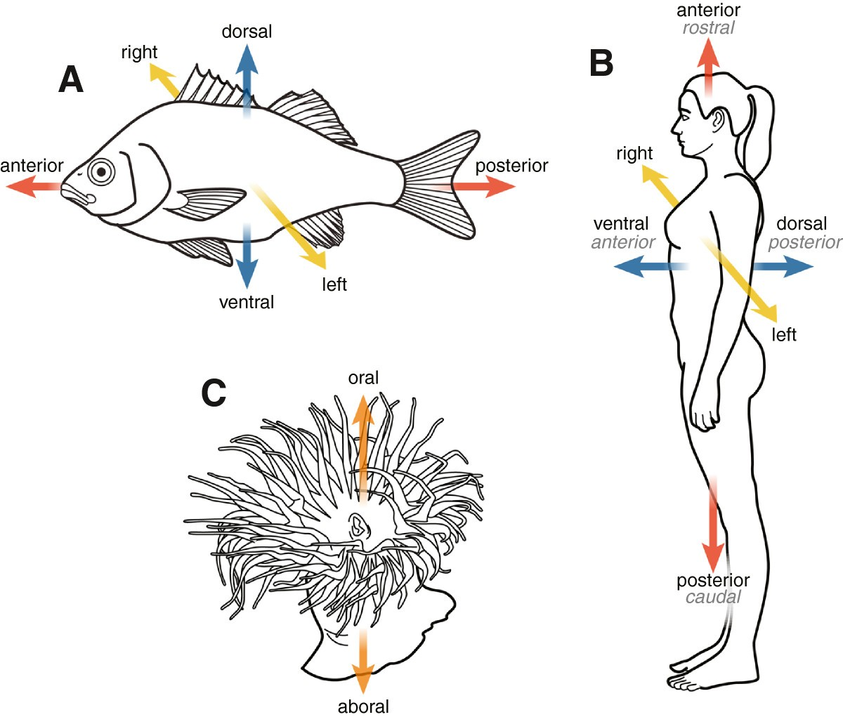 Nose to tail, roots to shoots: spatial descriptors for phenotypic ...