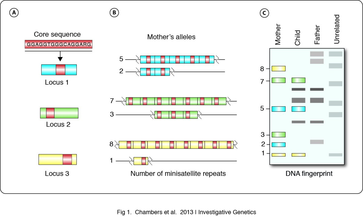 Dna fingerprinting in zoology past present future figure 1 ccuart Images