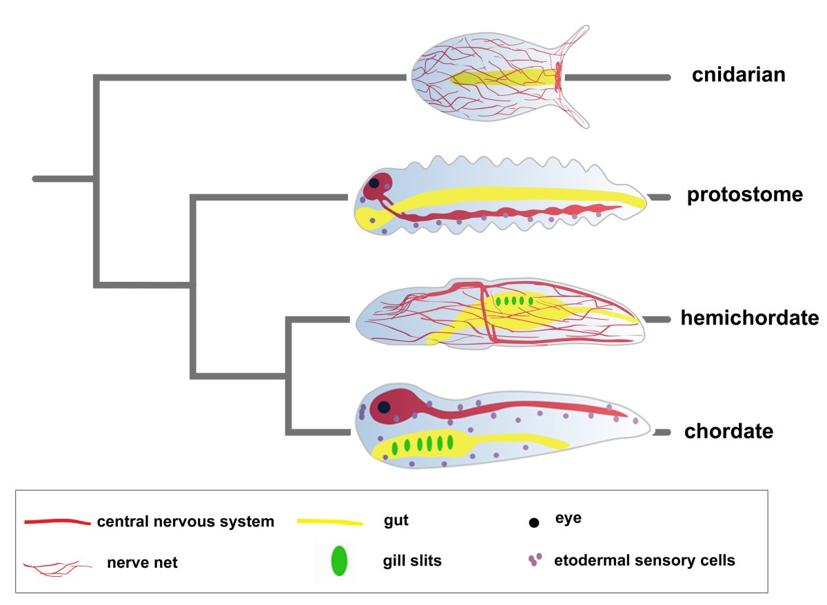 Evolution Of Bilaterian Central Nervous Systems A Single Origin