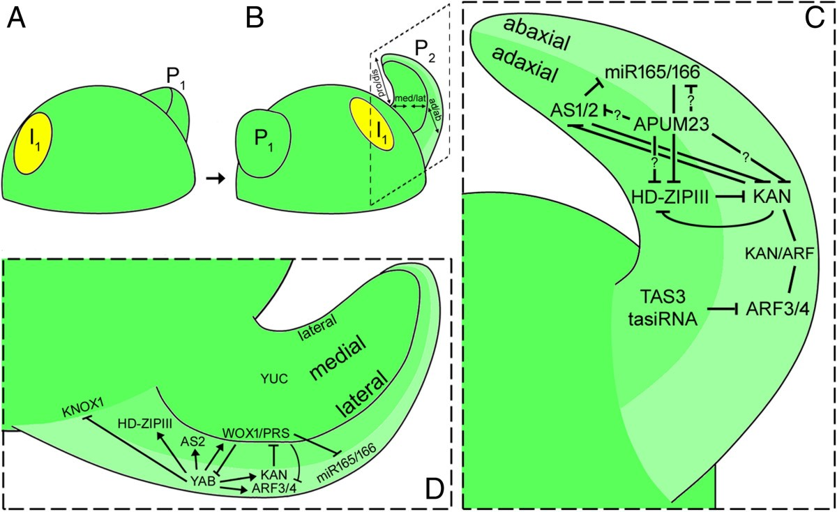 What Determines A Leafs Shape Evodevo Full Text Diagram For Wiring 8 Pin Nr 51 Figure 3 Illustrating