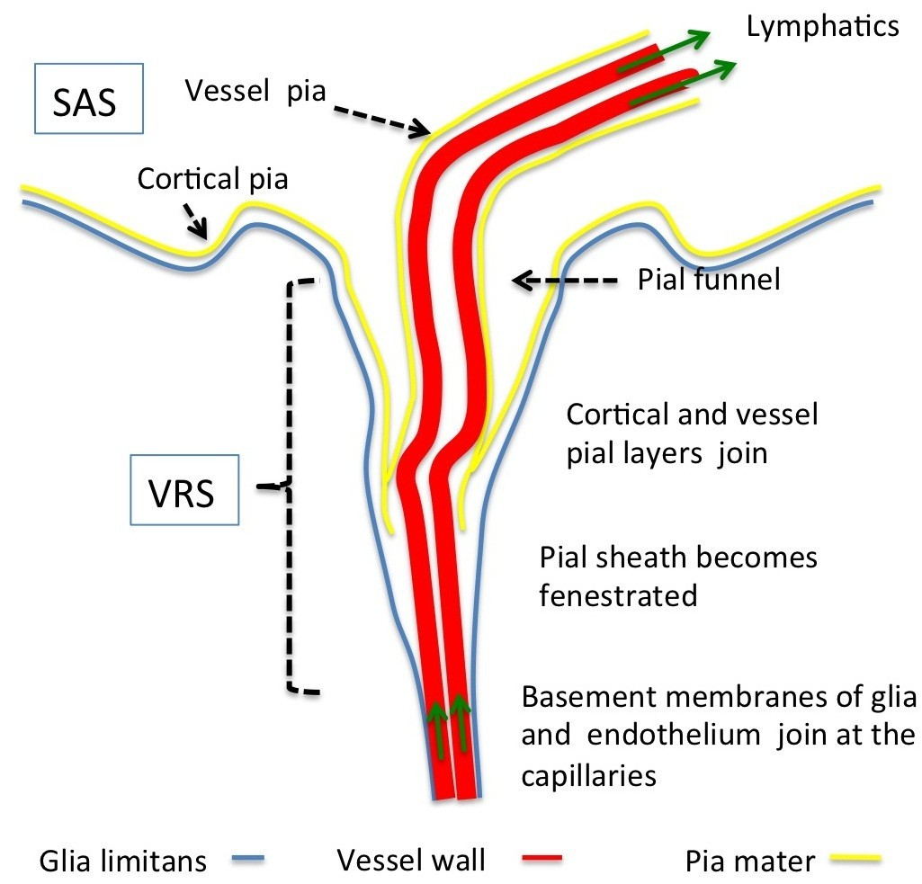 A New Look At Cerebrospinal Fluid Circulation Fluids And Barriers