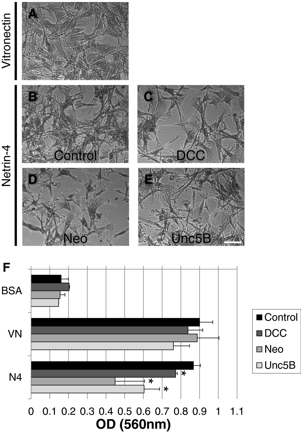 Netrin 4 promotes mural cell adhesion and recruitment to endothelial