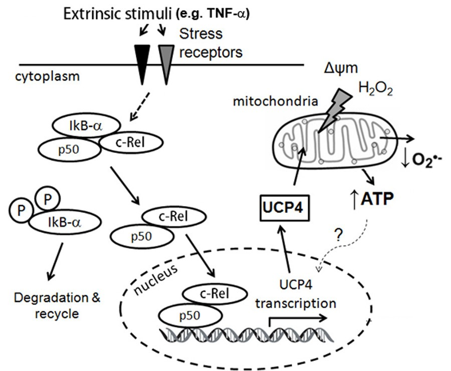 Mitochondrial Neuronal Uncoupling Proteins A Target For Potential