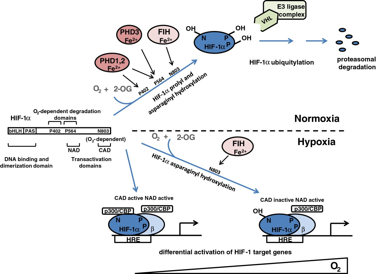 Hypoxia Signaling Pathways In Cancer Metabolism The Importance Of 130 Looper 96 Wiring Diagram Figure 1