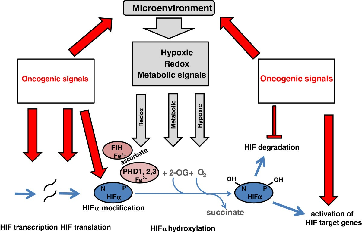 Hypoxia Signaling Pathways In Cancer Metabolism The Importance Of Text Transcribed For Accessibility Given A Parallel Electric Circuit Figure 2