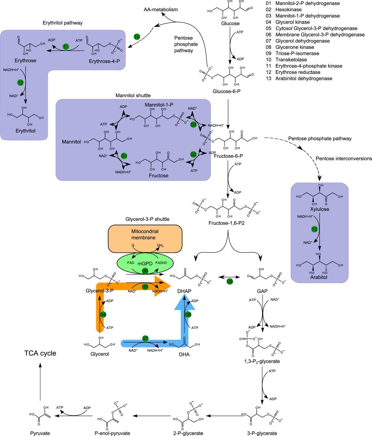 xylulose kinase - HD1200×1407