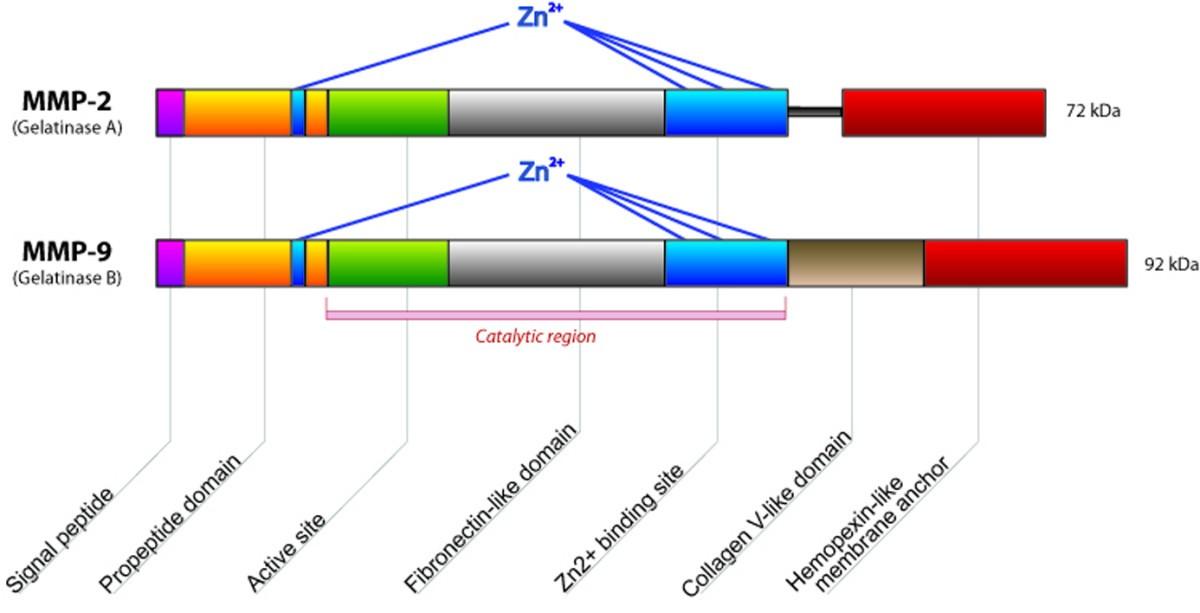 Glomerular Matrix Metalloproteinases And Their Regulators In The
