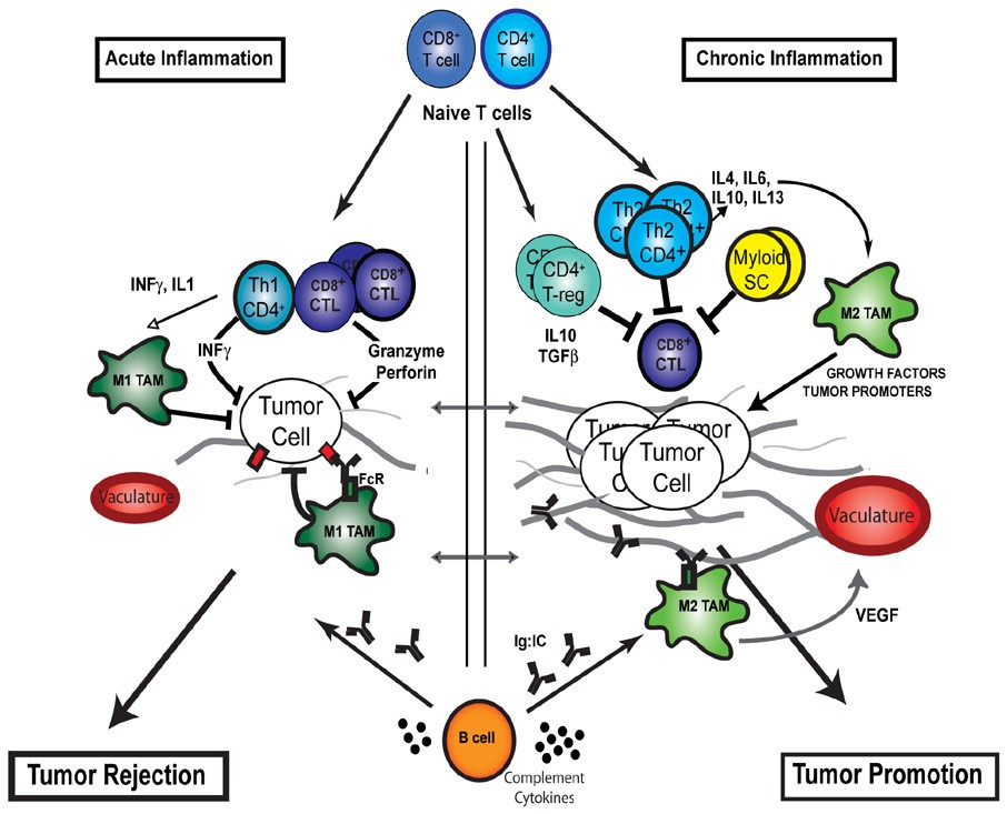 Human Tumor Antigens and Cancer Immunotherapy