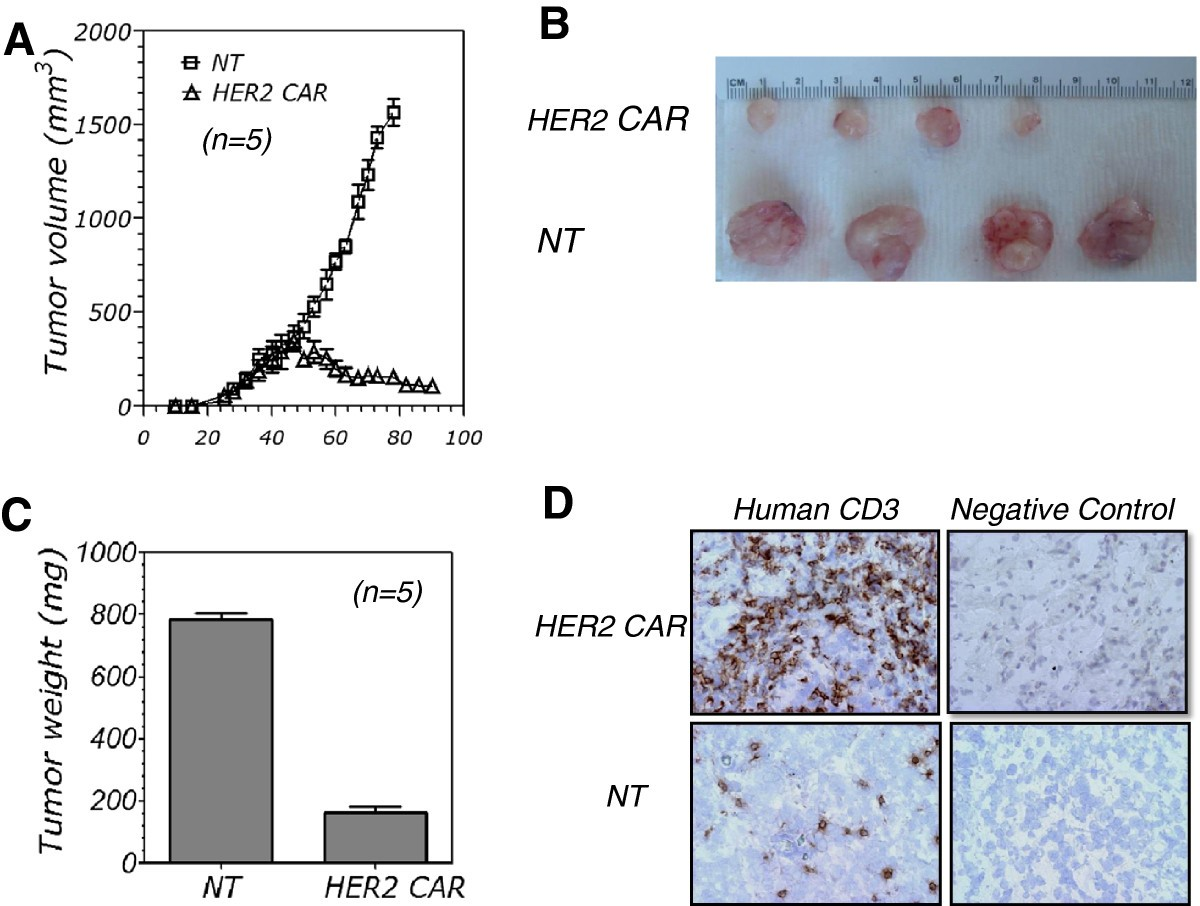 Construction And Evaluation Of A Novel Humanized Her2-Specific Chimeric Receptor -7838