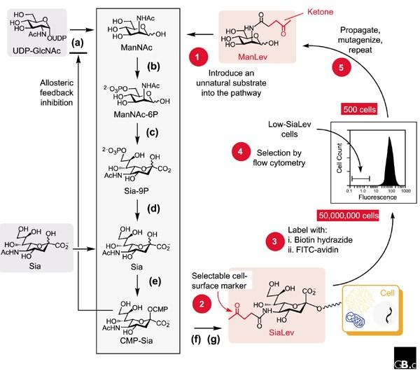 Characterizing Glycosylation Pathways Genome Biology Full Text