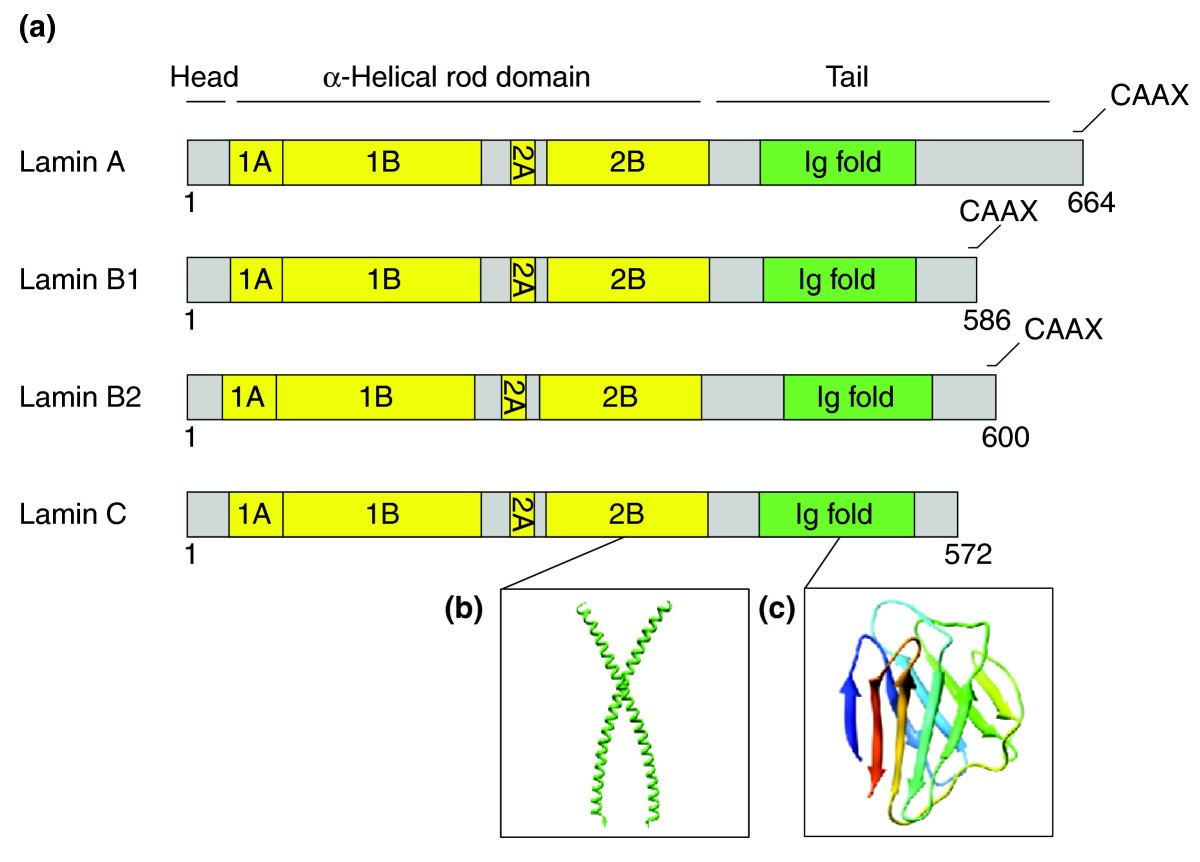 The Lamin Protein Family Genome Biology Full Text