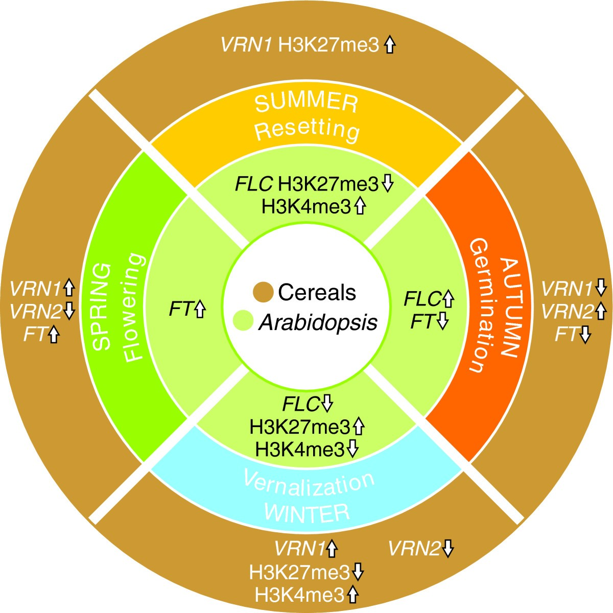 Vernalization In Cereals Journal Of Biology Full Text Seed Germination Diagram Monocot Figure 2