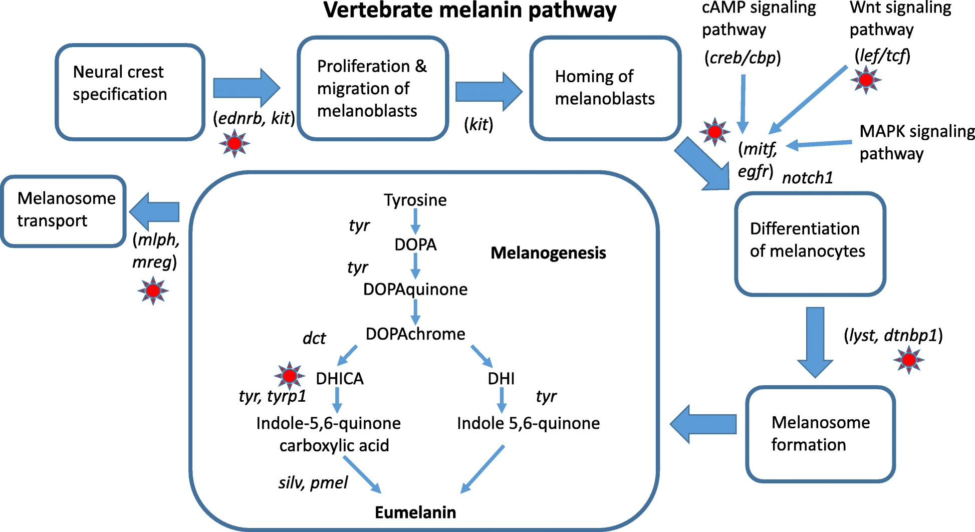 US5837505A - Melanin production from transformed escherichia coli ... | 1062x1946