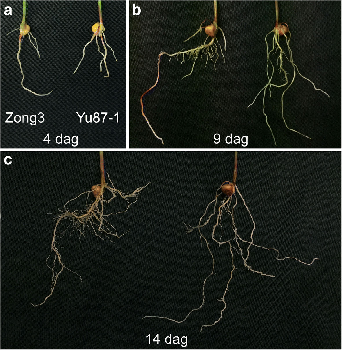 Genetic Analysis Of Seedling Root Traits Reveals The Association 1950 Kaiser Wiring Diagram Fig 1