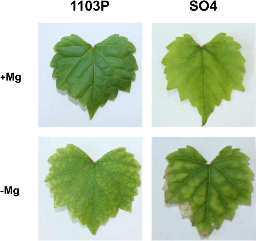 3cd0fd3b1 The different tolerance to magnesium deficiency of two grapevine ...