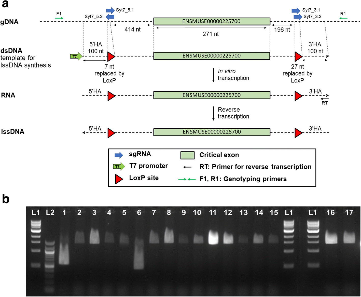 Application Of Long Single Stranded Dna Donors In Genome Editing This Ladder Diagram Arrangement May Be Easily Coded As Shown The Fig 1