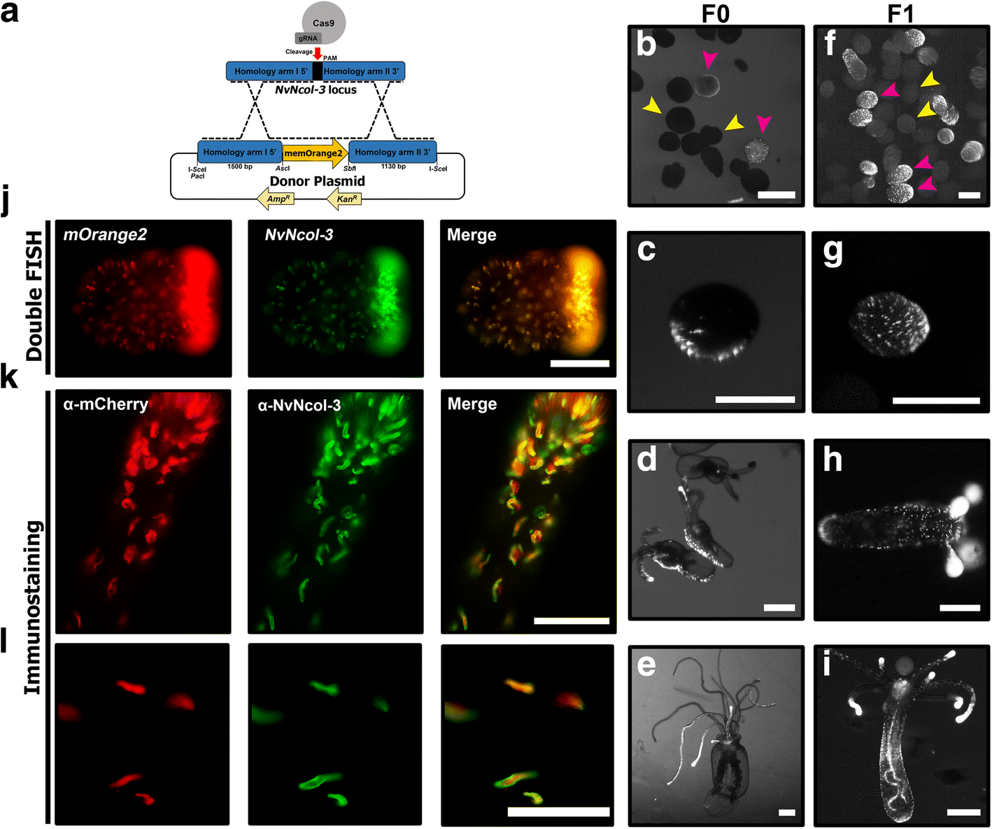 Cell Type Specific Expression Profiling Unravels The Development And Muscles Organs Diagram Of A Sea Anemone Look From Inside Fig 1
