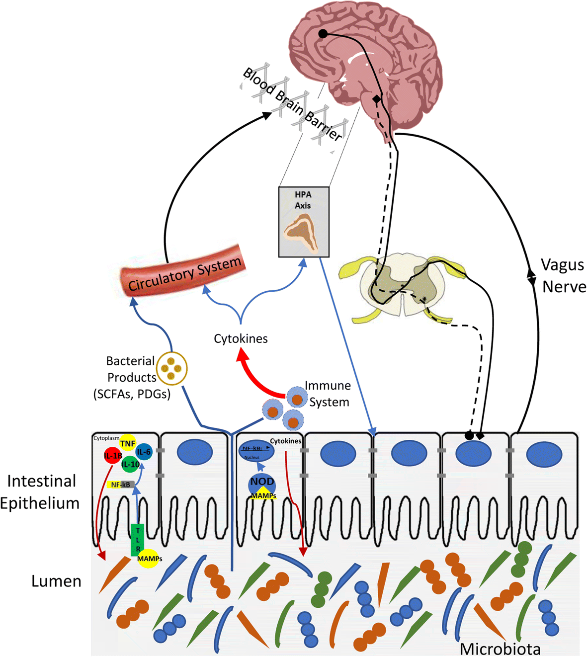 Visceral Pain Gut Microbiota A New Hope Journal Of Biomedical