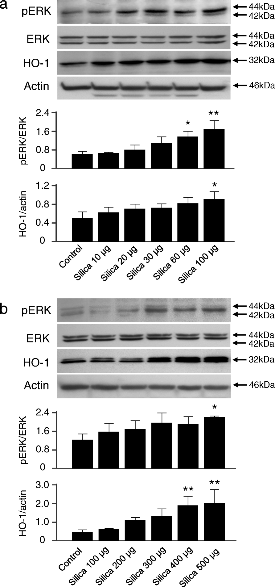 Regulatory Role Of Heme Oxygenase 1 In Silica Induced Lung Injury 100 Dai Nippon Fig 4