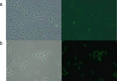 lactococcus lactis growth conditions