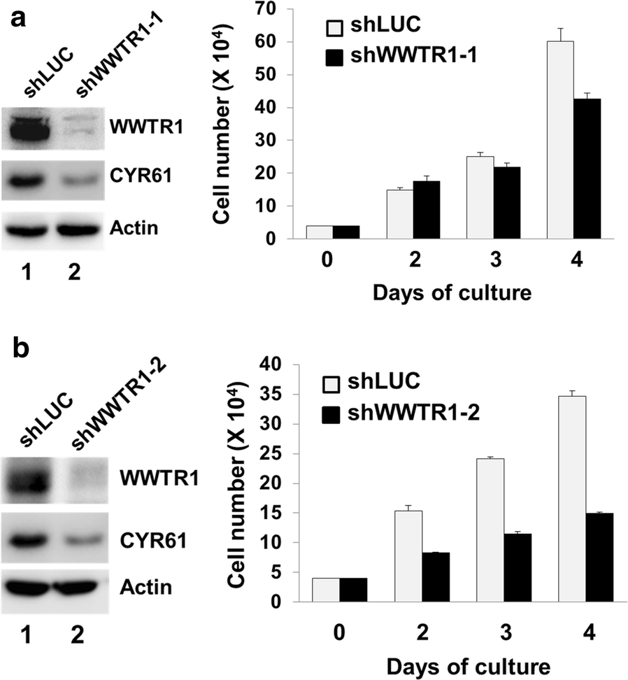 The Hippo signaling effector WWTR1 is a metastatic biomarker of