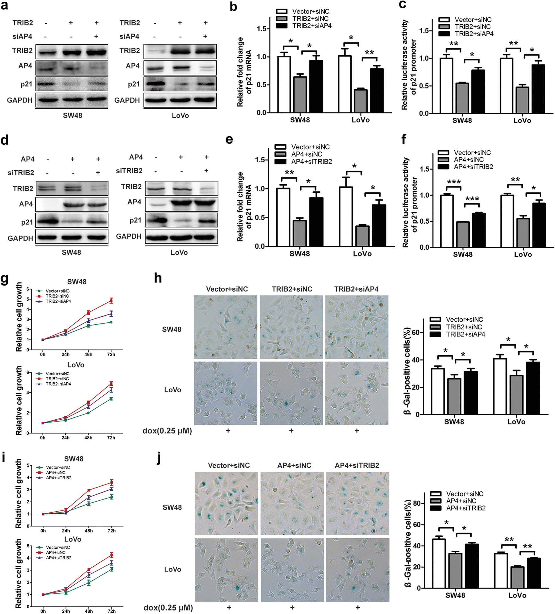 Trib2 Functions As Novel Oncogene In Colorectal Cancer By Blocking Cellular Senescence Through Ap4 P21 Signaling Molecular Cancer Full Text