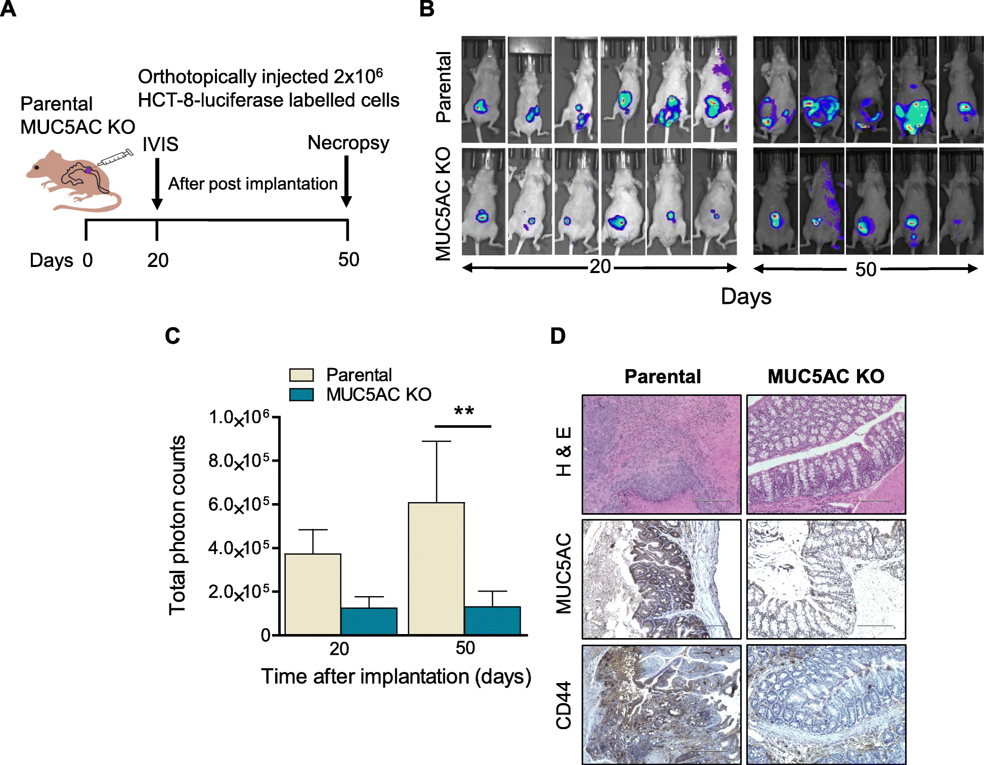 Molecular Implications Of Muc5ac Cd44 Axis In Colorectal Cancer Progression And Chemoresistance Molecular Cancer Full Text