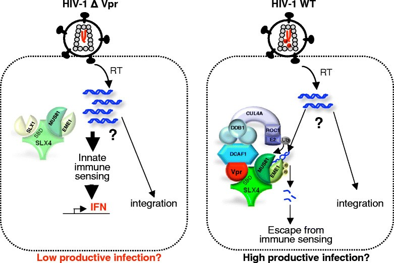 How SLX4 Cuts Through The Mystery Of HIV 1 Vpr Mediated Cell Cycle