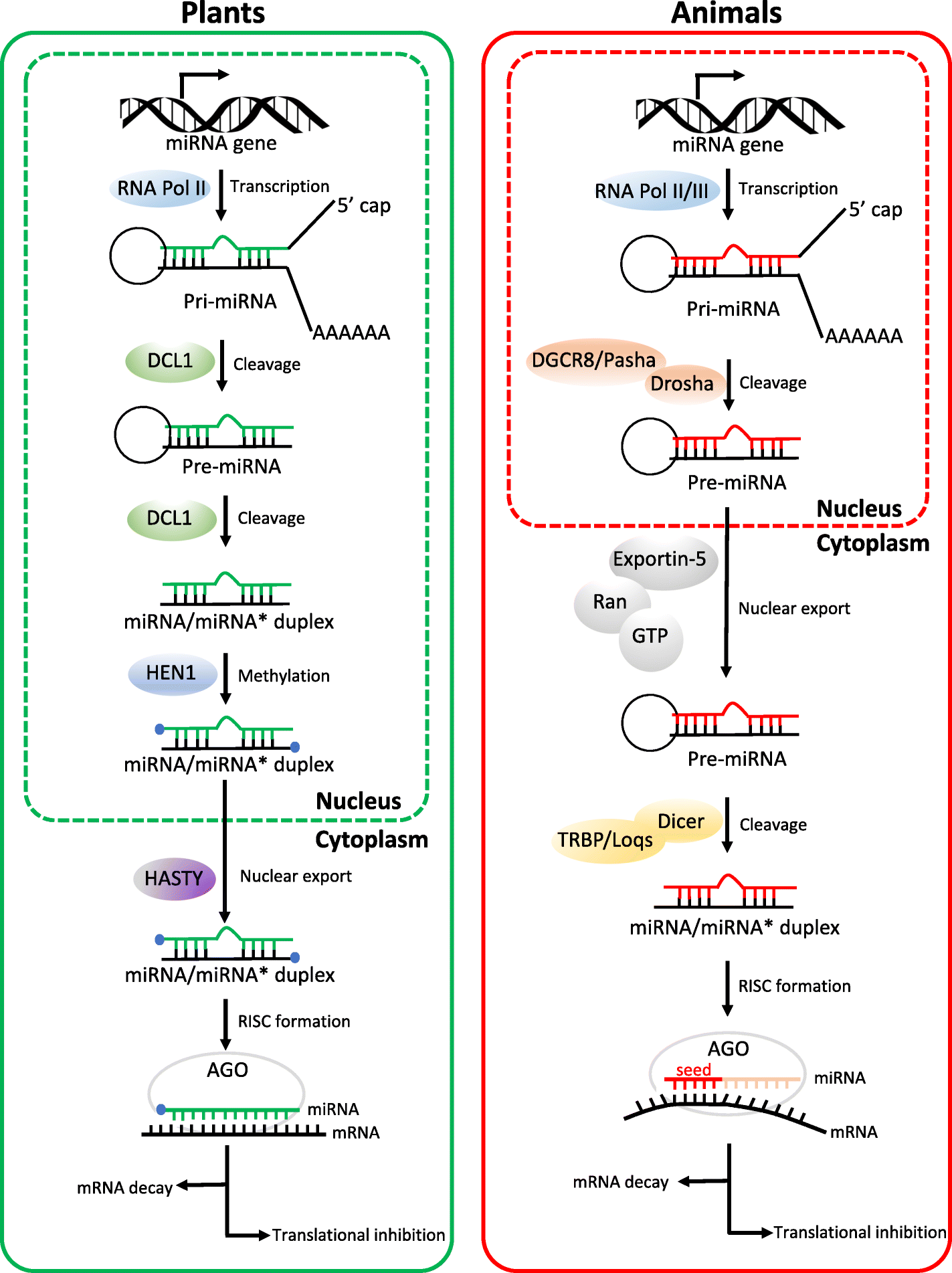 Micrornas From Plants To Animals Do They Define A New Messenger For Animal Cells Moreover Carbon Cycle On Plant And Cell Diagram Fig 1 Comparison Of Mirna Biogenesis Activity Pathways In